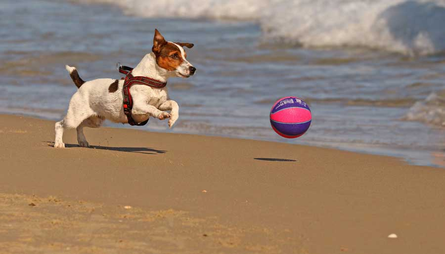 Behavioral Causes for Jack Russell's Shaking