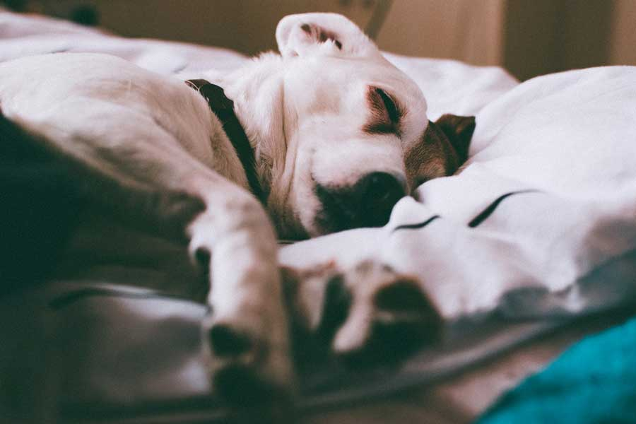 Why do Jack Russells Shake? - Medical Conditions