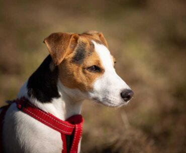How long do Jack Russell Terriers live? A helpful guide for a longer lifespan