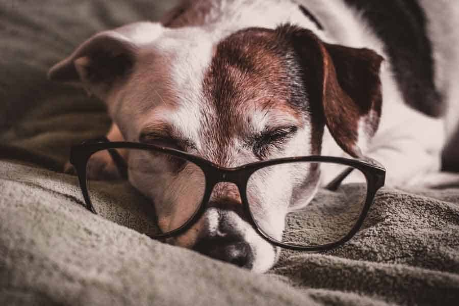 Signs of Jack Russell is getting old