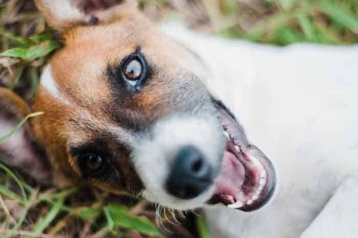 Why Do Jack Russells Shake Sum-up?