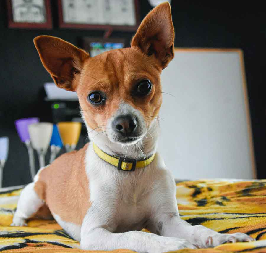 Temperament - Common facts about Chihuahua Jack Russell Mix