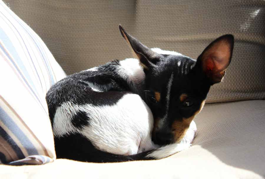 Will my dog need pain meds after a neutering surgery?