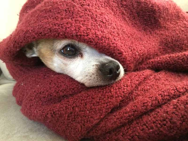 Keep Jack Russell warm in their old age