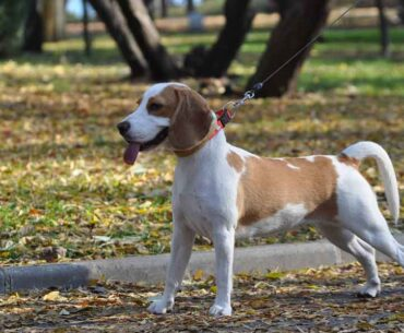 Jack Russell Beagle Mix (Jackabee) - Facts, Pics and More