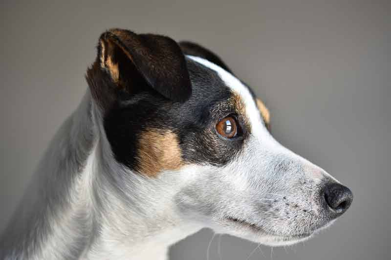 More about Jack Russells