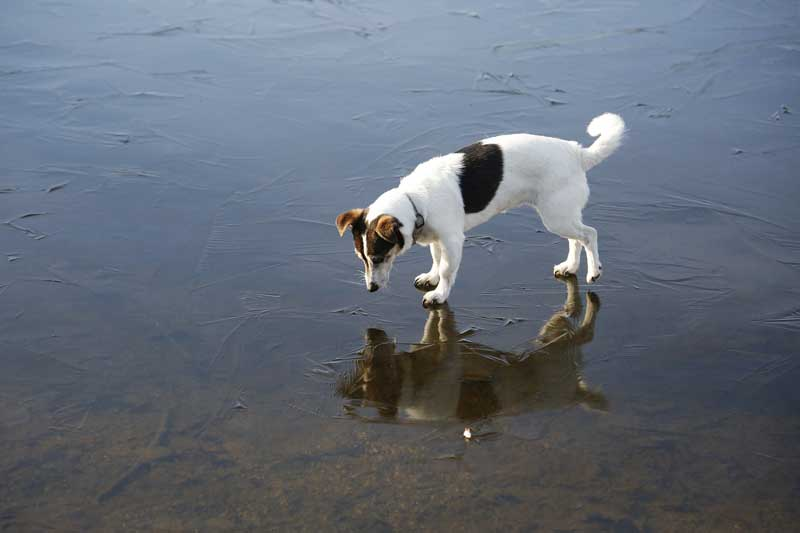 Size of Parson Russell Terrier