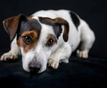 Jack Russell Terriers Breed Info - All you need to Know