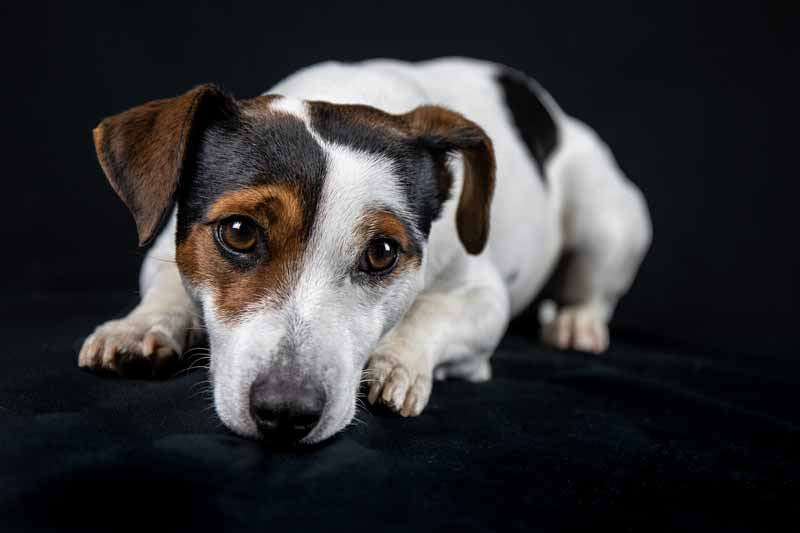 Jack Russell Terriers – All you need to Know