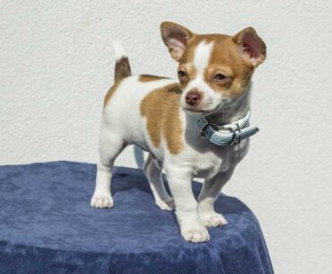 Jack Russell and Chihuahua Mix (Jack Chi / Jackahuahua) - Facts and Pics