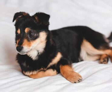 Jack Russell and Rat Terrier Mix (Jack Rat) - Facts, Pics and More