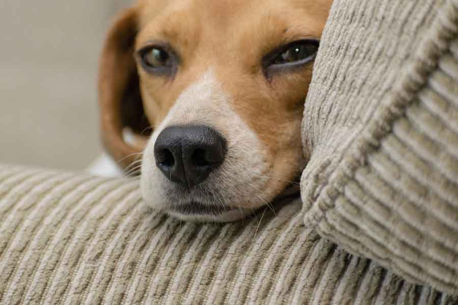 Caring guide for your dog after a neutering or spaying surgery