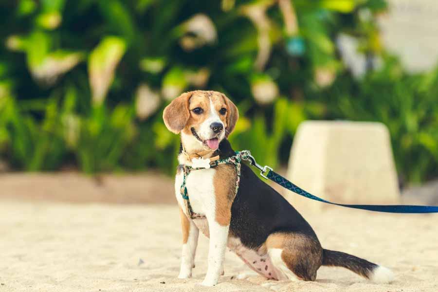 History of Beagle
