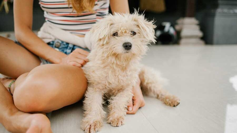 How often should you wash a Jack Russell Terrier Poodle Mix dog?