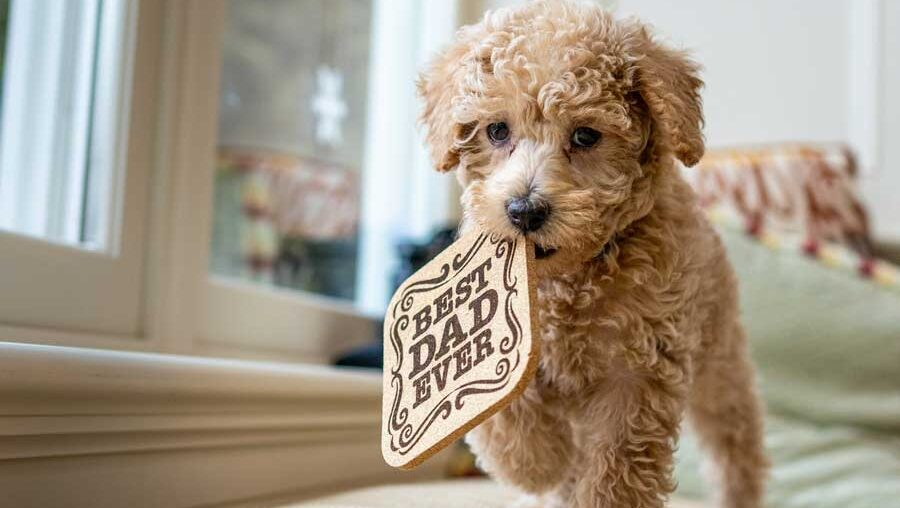 Jack Russell Terrier and Poodle mixes get their prominent appearance and major characteristics from either parent.