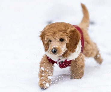 Jack Russell and Poodle Mix (Jackapoo) – Facts, Pics and More