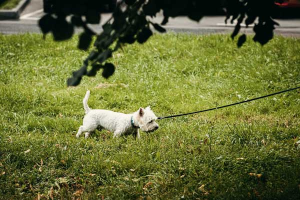 Common facts about Jack Russell and Yorkie Terrier mix