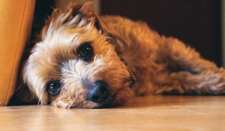 Jack Russell Yorkie Terrier Mix (Jorkie) - Facts, Pics and More