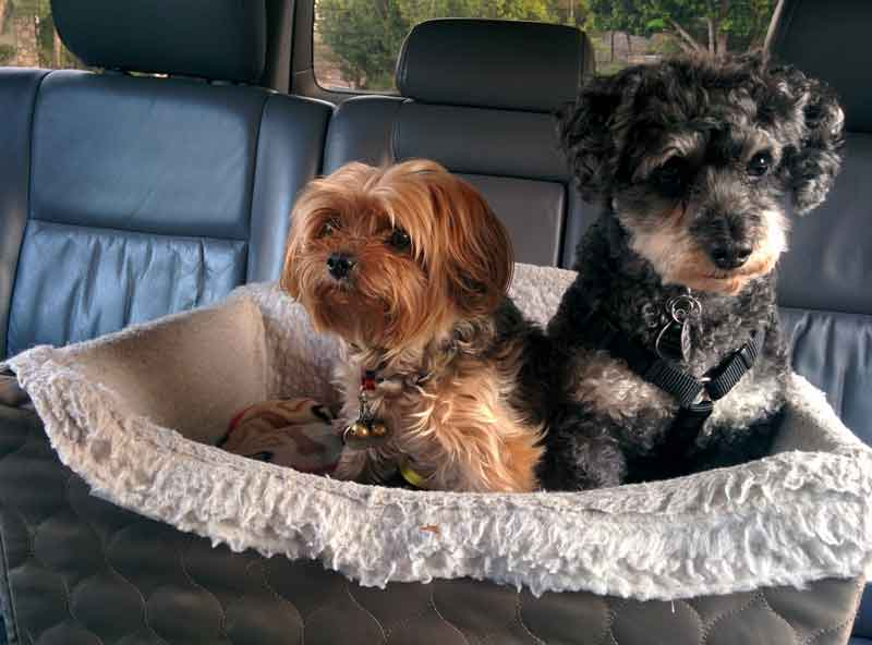 Are Yorkie Russell mixes Good for Families?