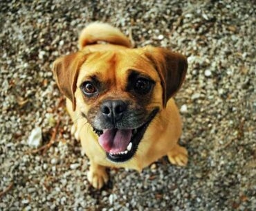 Jack Russell and Pug Mix (Jug) - Facts, Pics and More