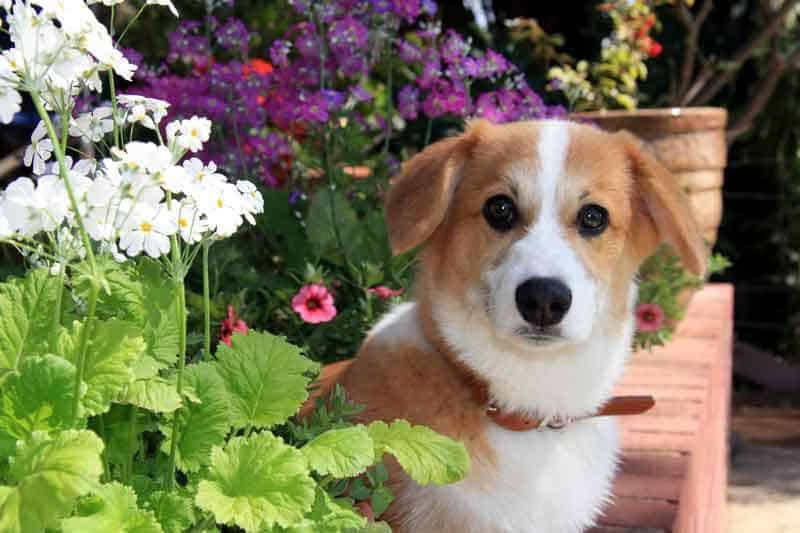 Are Jack Russell Terrier and Corgi mix good for families?