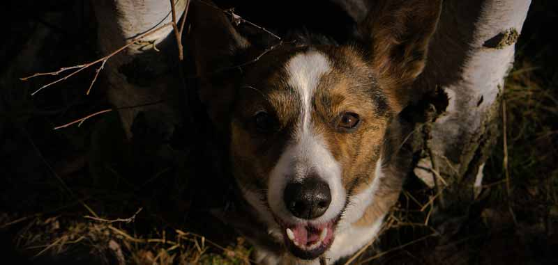 What is a Cojack dog? - Origin of Jack Russell Corgi Mix