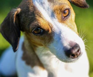 Why Do Jack Russells Shake? Reasons and Curing Guide