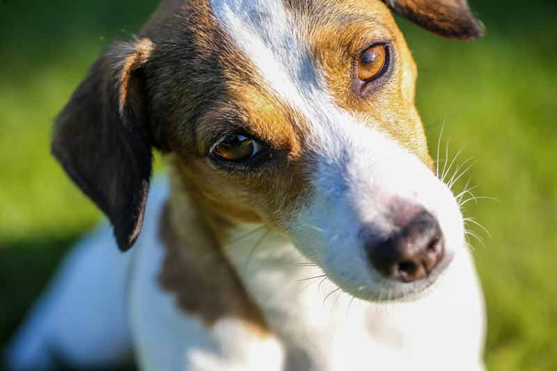 How to treat Jack Russell Terrier's old age problems
