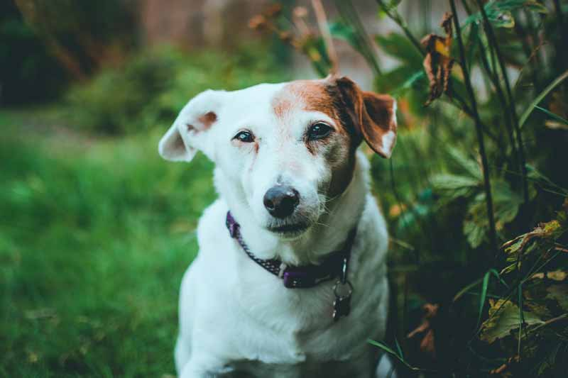 At what age is Jack Russell becoming a senior?
