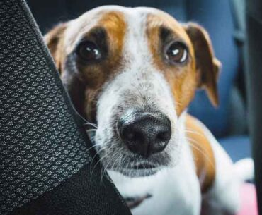 Jack Russell's Old Age Problems - How to Care Guide