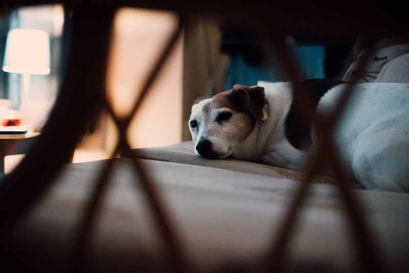 Most older Jack Russells get diabetes due to the lower level of insulin in their blood.