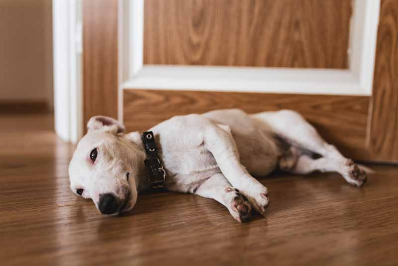 What illnesses are Jack Russells prone to in their old age? (Jack Russell's old age problems)