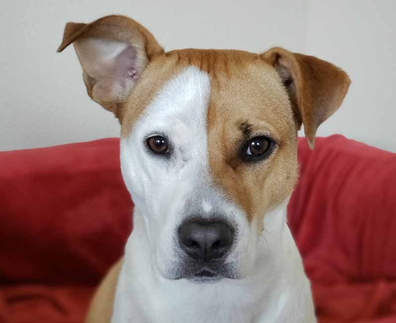 American Pit Bull Terrier and Jack Russell Terrier Mix - Jackit / Jack Pit