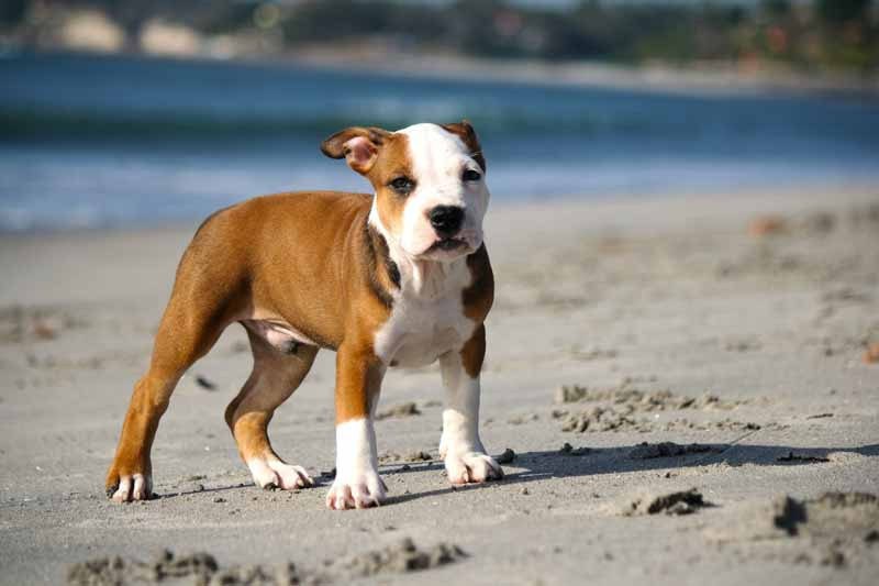 Origin of Jack Russell Pit Bull Mix - What is a Jack Pit?