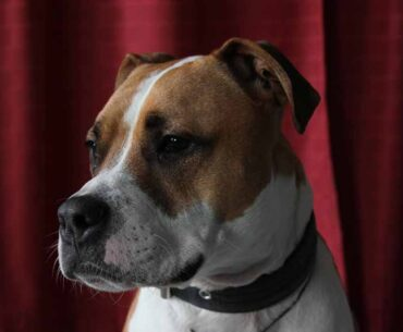 Pit Bull and Jack Russell Terrier Mix (Jack-Pit) - Facts, Pics and More