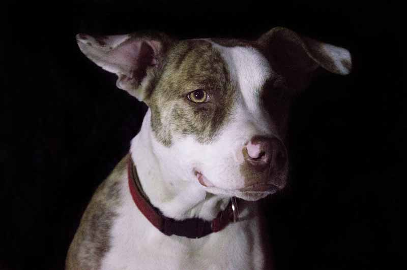 How big does a Jack Russell Pit Bull Terriers Mix get?