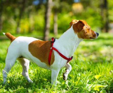 How Big are Jack Russell Terriers?