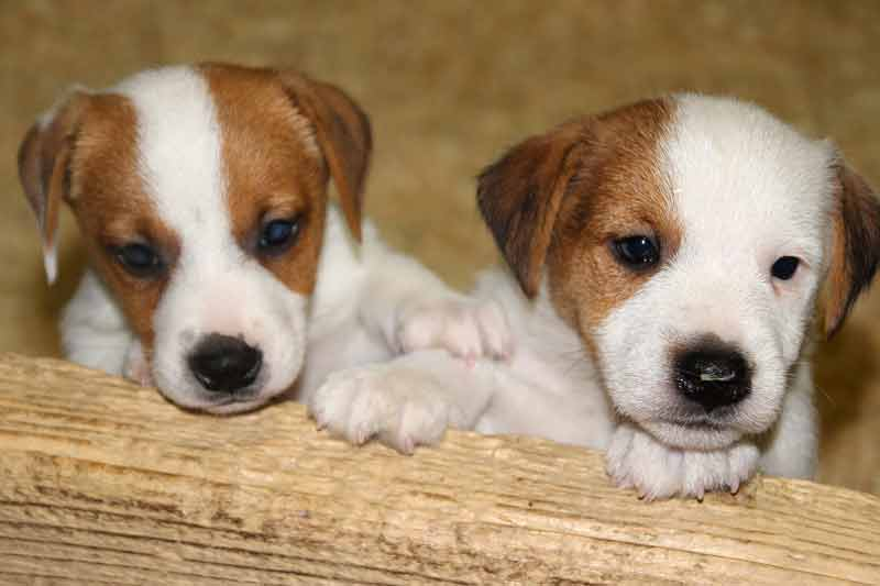 What is the average litter for a Jack Russell?