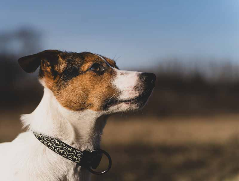 Why do Jack Russell Terriers bark a lot?