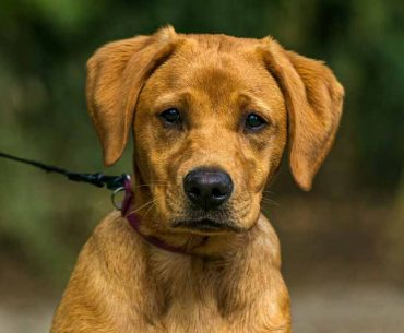 Jack Russell and Labrador Mix (Jackador) - Facts, Pics and More