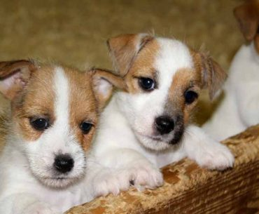 Jack Russell Terriers Litter Size