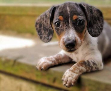 JackShund (Jack Russell and Dachshund Mix) - Facts, Pics and More