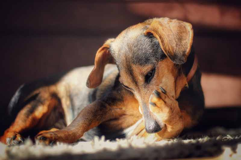 Origin of Jack Russell Dachshund Mix - What is a Jackshund?