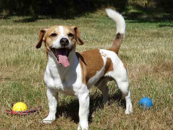 History of Jack Russell Terrier