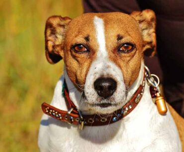 Pros and Cons of Jack Russell Terriers