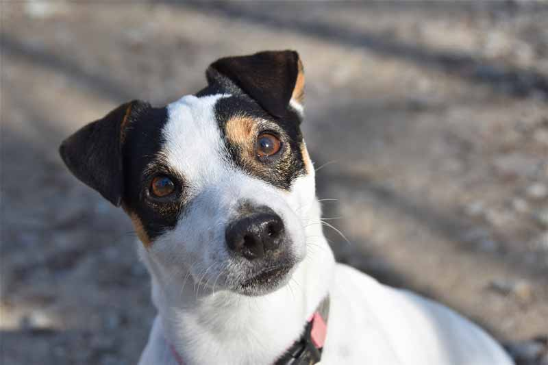 How do I get my Jack Russell to stop barking?
