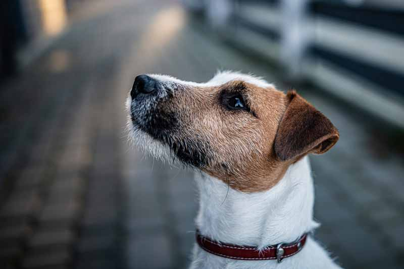 What are the risks of walking your dog too early after surgery?