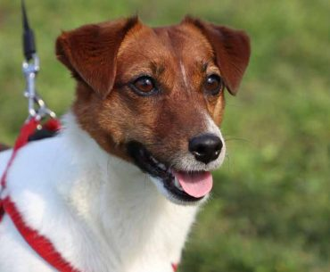 Do Jack Russell Terriers Bark a Lot? Tips for Stop Barking