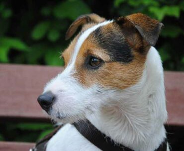 Why do Jack Russells Growl? How to Stop Your JRT's Growling